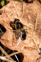 Hoverflies, Bees and Wasps